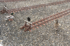 Besuch der Stock-Enten
